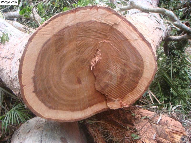 Góc tư vấn: Gỗ phanh là gỗ gì? Gỗ phay có tốt không?